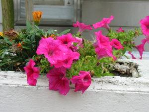 annuals petunia