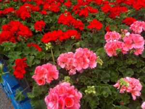 bed of geraniums