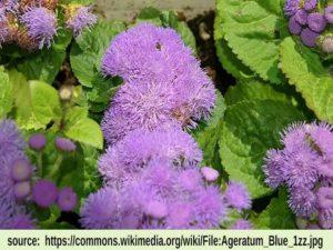 blue agoratum image