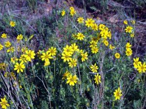 perennials coreopsis