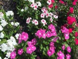 flowering vinca image