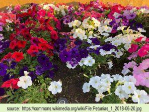 image of petunias in garden