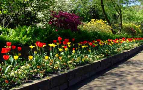 image of raised bed of tulips