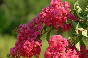 how to trim a crepe myrtle