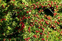 cranberry cotoneaster image