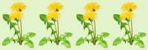 4-star dandelion