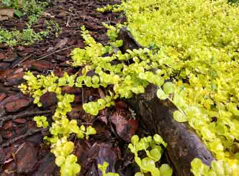 creeping jenny deer resistant shade plant ground cover