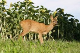 deer resistant plants for shade