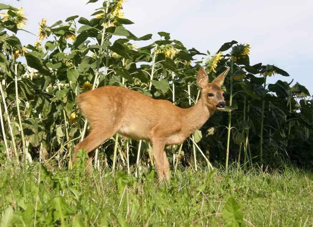 deer resistant plants for shade