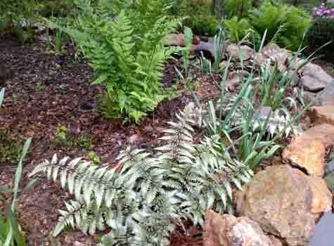 japanese painted fern deer resistant plant