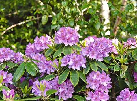 rhododendron with lavender blooms