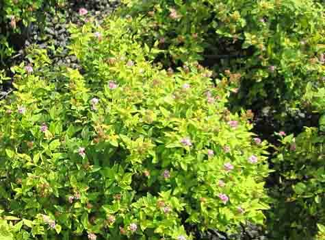 spirea deer resistant shade plant