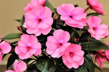 new guinea impatiens care