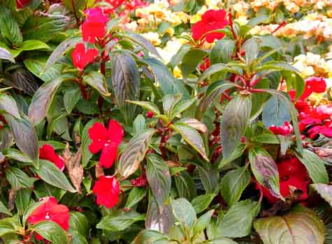 new guinea impatiens care red blooms image