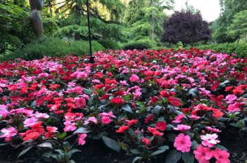 types of impatiens