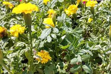 french marigold or targetes petula
