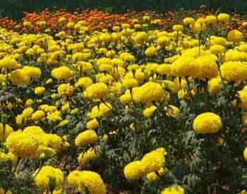 large african marigolds