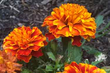 orange and yellow types of marigolds