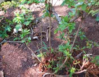 azalea with deer damage
