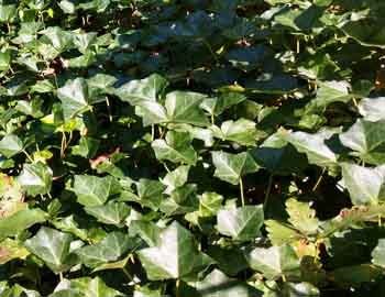 english ivy a plant that deer eat