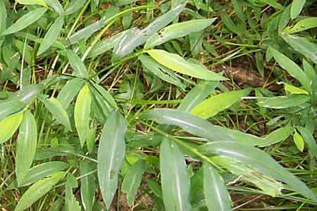japanese stiltgrass close up of leaves
