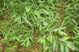 japanese stiltgrass image