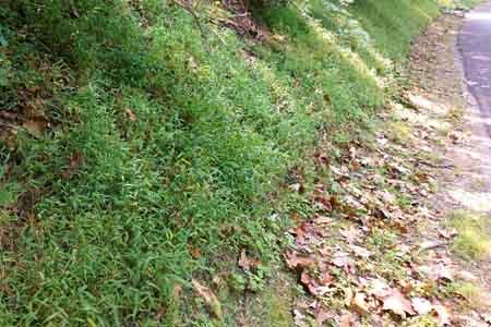 japanese stiltgrass on hillside