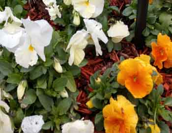 pansies image an example of plants that deer do eat
