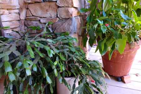 care for christmas cactus on porch2