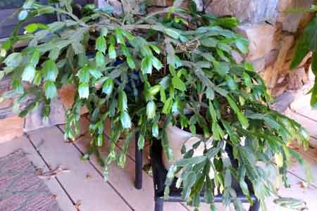 christmas cactus care on porch1