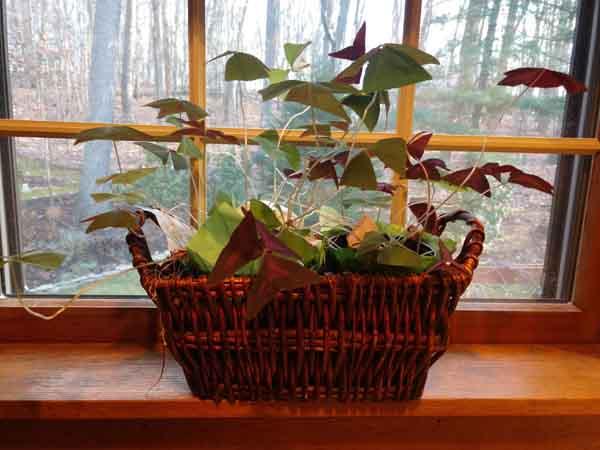 shamrock plant image