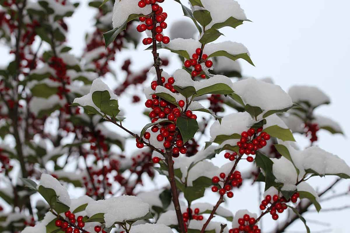 common winterberry shrub image