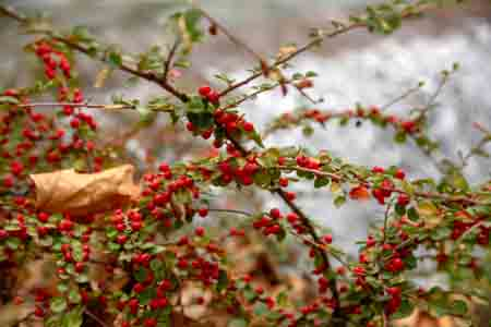 common winterberry with leaves