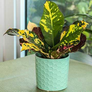 image of croton plant care in pot