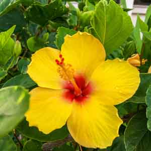 hibiscus color example 3