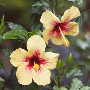 hibiscus color example 5