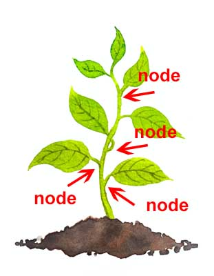 plant node illustration