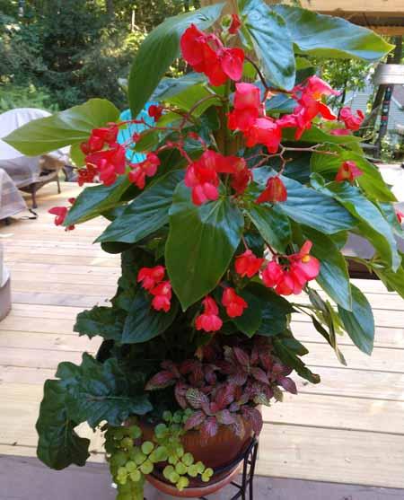 dragon wing begonias in pot