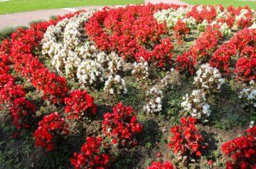 over winter begonias image