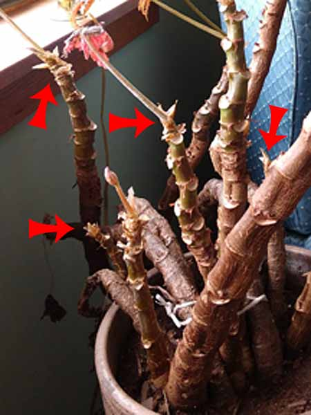 overwintering rex begonia with new shoots