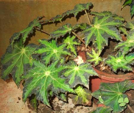 rex begonia image