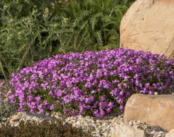 #22 perennial creeping phlox with purple blooms