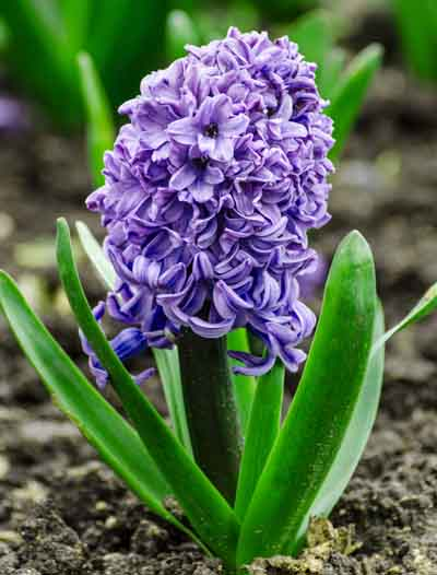 #25-perennial-hyacinth