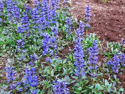 ajuga #14 in list of perennials with purple flowers