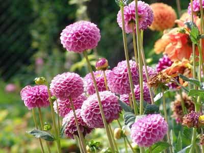 allium #9 perennial with purple flowers