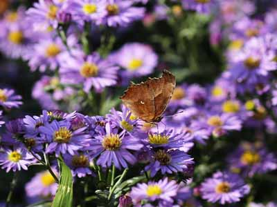 aster #12 perenial with purple flowers
