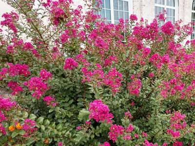 butterfly bush #5 perennial