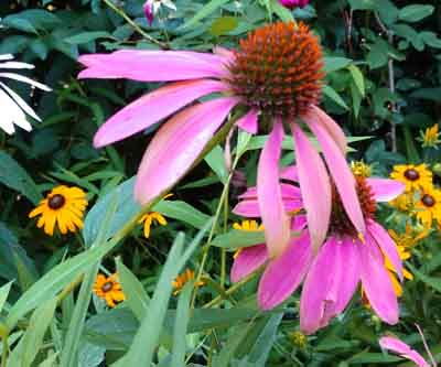 coneflower #3 perennial with purple flowers