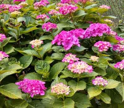hydrangea #2 perennial with purple flowers