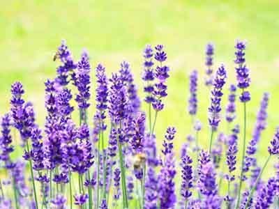 lavender #19 perennial